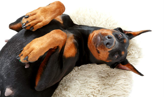 Doberman Cross with Separation Anxiety, Territorial and becomes Aggressive.