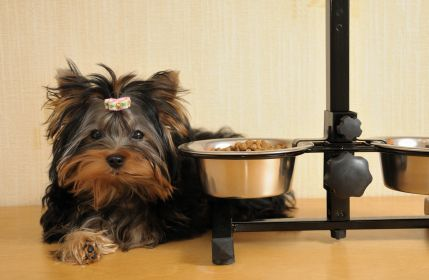 Yorkie Poodle, Puppies, Yorkie Poo Pictures, Grooming a Yorkie