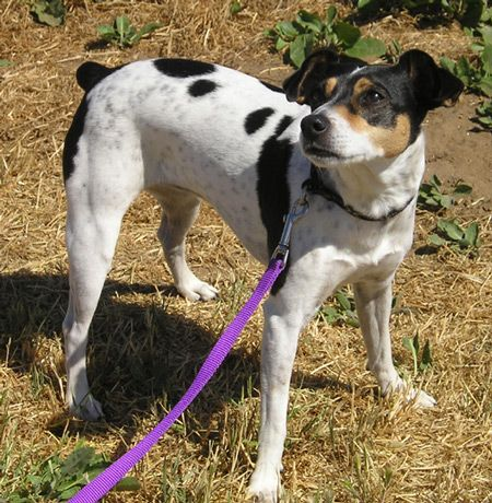 Rat Terrier Breed, Small Breeds of Dogs, Best Small Dog Breeds