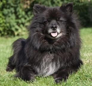 Chihuahua Pomeranian Mix, Pomchi Puppies, Exotic Black Puppy