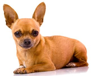 Chihuahua Pregnancy, Daily Calendar, Gestation, Earliest Possible Signs