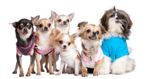 List of Small Dog Breeds, Small Breeds of Dogs
