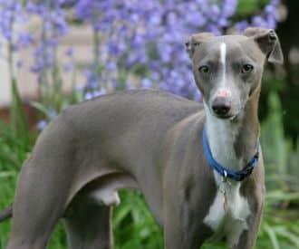 greyhound dog pictures