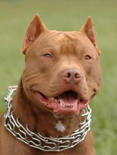 A picture of a Red Nose Pit Bull