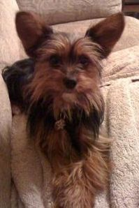 Yorkie Chihuahua Mix, Pics, Grooming A Chorkie Dog