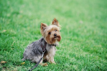 training yorkshire terriers