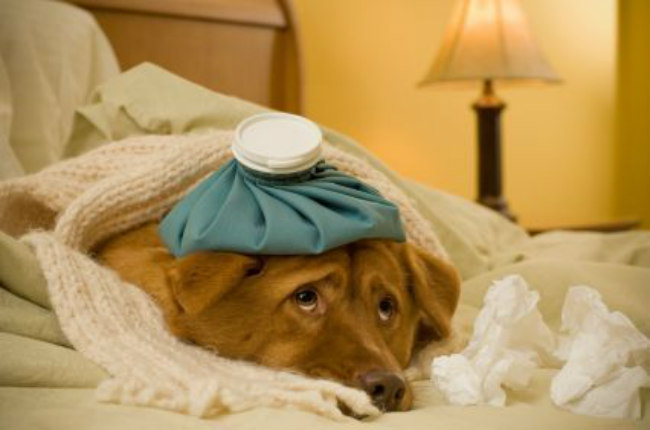 Dog Owners Guide To Canine Influenza