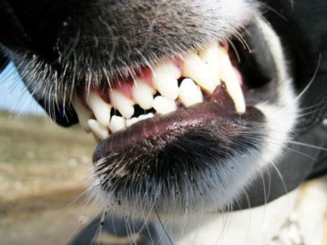 The Dog Owners Guide To Dog Teeth