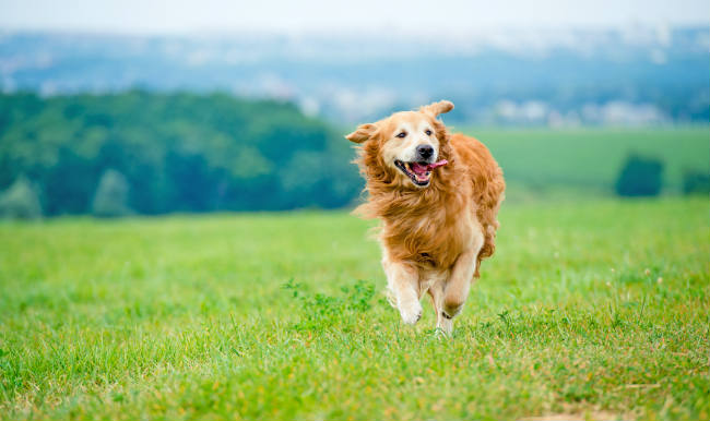 Facts about Golden Retrievers & History of the Breed
