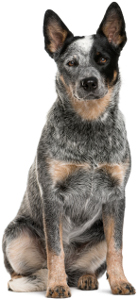 Australian Cattle Dog Dog