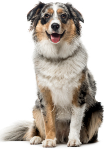 Best Dog Food For Australian Shepherds 2019 Top Picks Pawdiet