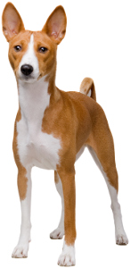 Best Dog Food For Basenjis 2019 Top Picks Pawdiet