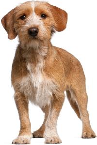 Basset Fauve de Bretagne Dog