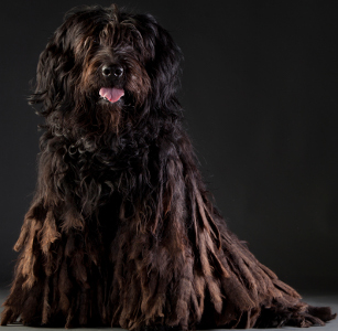 Bergamasco Sheepdog Dog