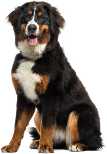 Bernese Mountain Dog Dog
