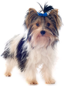 Biewer Terrier Dog