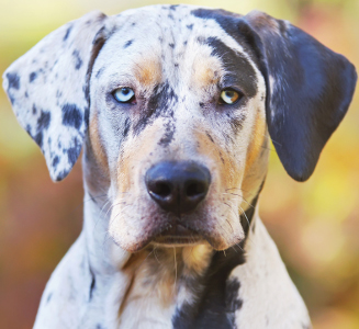 Catahoula Leopard Dog Dog