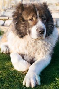 Caucasian Shepherd Dog Dog