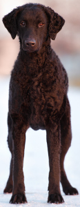 Curly-Coated Retriever Dog