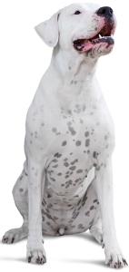 Dogo Argentino Dog