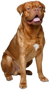 Dogue de Bordeaux Dog