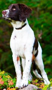 Drentsche Patrijshond Dog