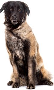 Estrela Mountain Dog Dog