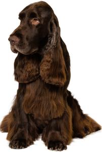 Field Spaniel Dog