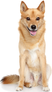 Finnish Spitz Dog