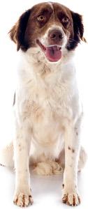 French Spaniel Dog