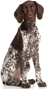 Best Dog Food For German Shorthaired Pointers 2019 Top