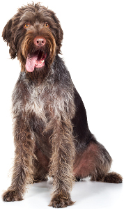 German Wirehaired Pointer Dog