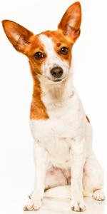 Large Portuguese Podengo Dog