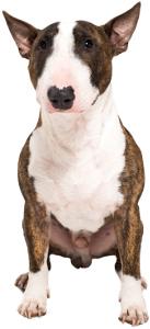 Miniature Bull Terrier Dog