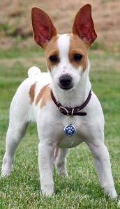 Miniature Rat Terrier Dog