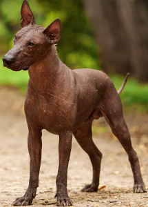 Miniature Xoloitzcuintli Dog