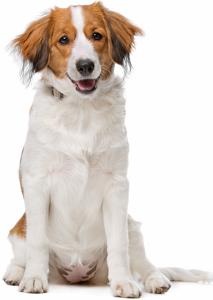 Nederlandse Kooikerhondje Dog