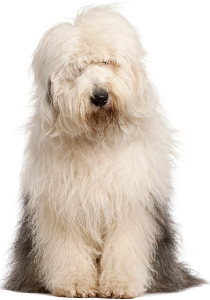 Old English Sheepdog Dog