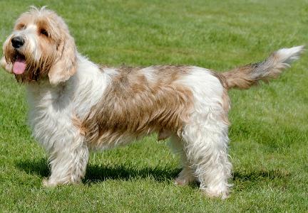 Petit Basset Griffon Vendéen Dog