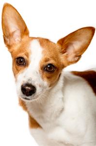 Portuguese Podengo Pequeno Dog