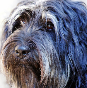 Portuguese Sheepdog Dog