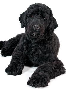 Portuguese Water Dog Dog