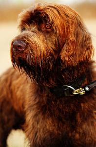 Pudelpointer Dog
