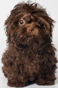 Russian Tsvetnaya Bolonka Dog