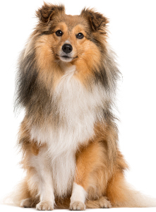 Shetland Sheepdog Dog