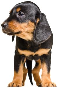 Slovensky Kopov Dog