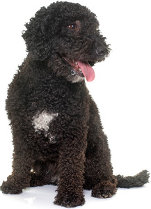Spanish Water Dog Dog