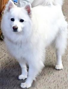 Standard American Eskimo Dog