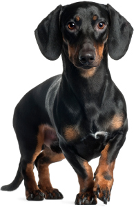 Standard Dachshund Dog