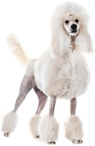Standard Poodle Dog